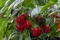 Red Capsicum Seeds