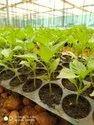 Inspiration Capsicum Seeds
