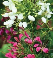 Cleome Spinosa Mixed Seed (Pack of 5)