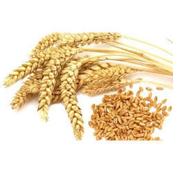 Wheat Seed, Pack Size: 200g And Also Available In 50 Kg