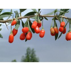 Goji Berry Extract 10:1