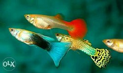 Mixed Guppies, Size: 2 Inch