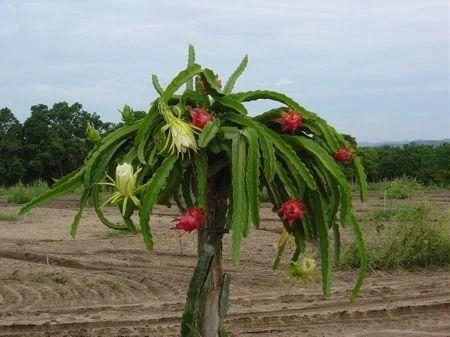 Dragon Fruit Plant Supper Fruit डरगन फरट