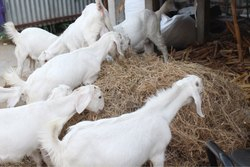 Pet Goat in Coimbatore - Latest Price & Mandi Rates from Dealers in