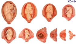 XC-414 The Development Process of Fetus