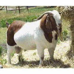 African Boer Goat