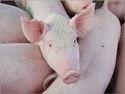 White Baby Piglet