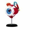 Human Eye Models