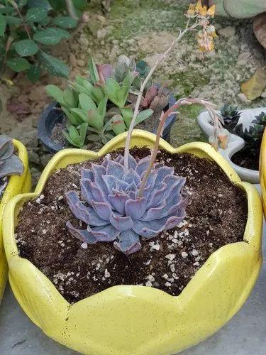 Lotus Ceramic Pots For Indoor Plantsplantersflower Pots चन