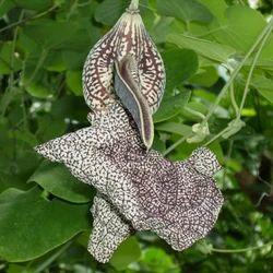 Aadu Theendaa Paalai (Aristolochia indica 200 gms