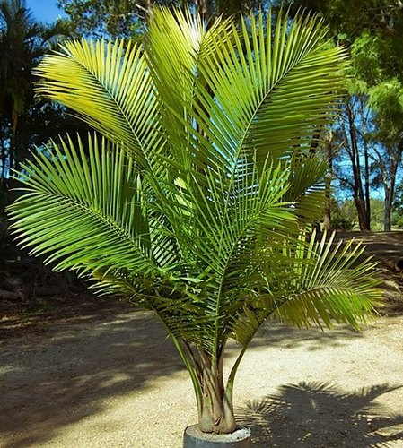 Ravenea Rivularis Ravina Palm