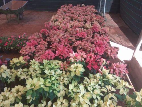 Animal / Crop Production of Adenium Plant & Euphorbia Plant
