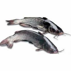 Fresh Catfish, Size: 500-3000 G/pc