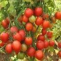 Vai Tomato Seeds, Pack Size: 10 Kgs