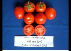 Hybrid Tomato Arka Rakshak