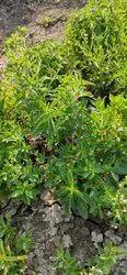 Stevia Farming