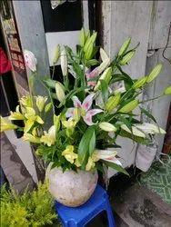 Lilis Flower