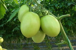 Tomato Seeds, Usage: Agriculture- Sowing