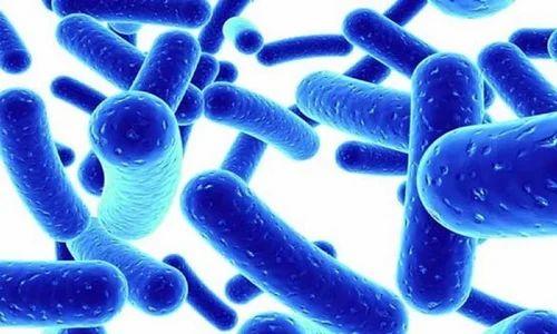 Hasil gambar untuk lactobacillus