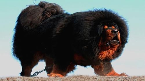 Tibetan Mastiff Dog For Sale In Stan - Dog Breed