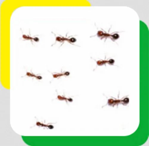 Pharaoh Ants Pest Control Service