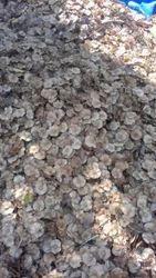 Petro Carpus Maruspium Seed - Beeja Tree Seed