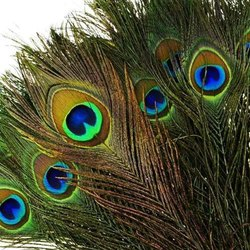 Peacock Feather (More Pankh)