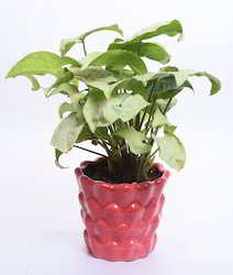 Live Plants Or Landscaping And Corporate Gifts Indoor Plants