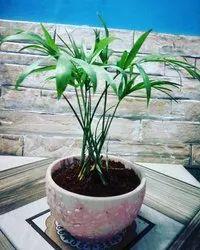 Green Pots & Plants Chamaedorea Elegans Plant, For Garden