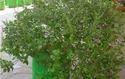 Grow Bags Tulsi Plant