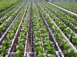 Vegetable Drip Irrigation