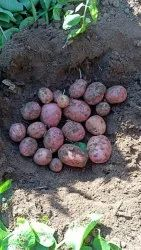 Red A Grade Potato, Packaging Size: 50 kg