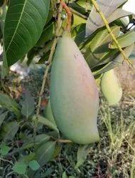 Totapuri Mango Fresh Totapuri