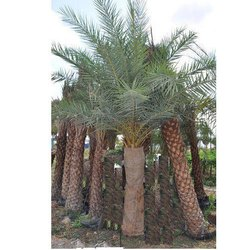Phoenix Sylvestris Palm Trees