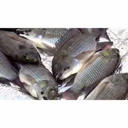 Frozen Marine Fish, Packaging Type: Thermocol Box