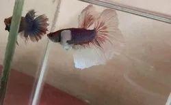 Dark perple and white Dumbo ear full moon betta fish, Size: 3 Inch