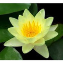 Water Lily Yellow Flowering Plant