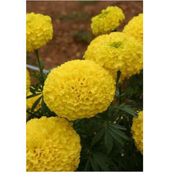 Marigold Flower Seeds MG- 34
