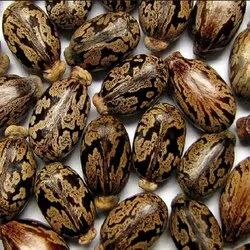 Dried Natural Hybrid Castor Seed for Sowing, For Farming, 10 % Max