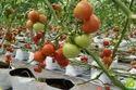 Valouro Tomato Seeds