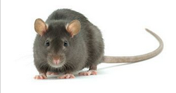Rodent Pest Control Service
