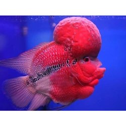 Red Flower Horn Fish, Size: Natural