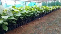 Teak Wood Plant