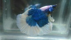 Blue Fullmoon Betta, Size: Adult