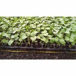 Brinjal Seedlings