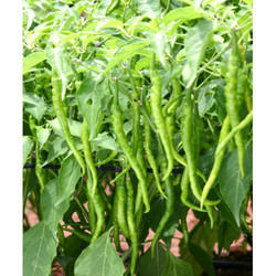 Green Chilli Seeds HYB- 114