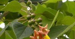 Gambhari -  Gmelina Arborea - Kambhar - Shivan