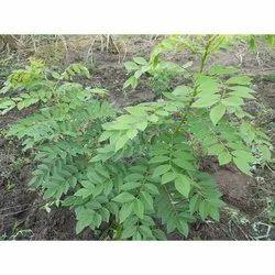 Gliricidia Sepium Seeds