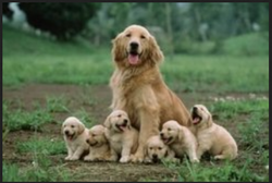 Dog Maiting Services