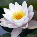 Lotus White Oil
